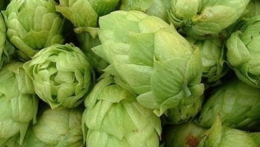 fresh hops to combine with craft beer